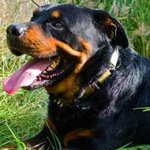 Fancy Leather Rottweiler Collar with Metal Decoration
