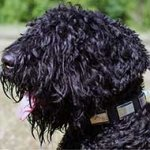 Classy Leather Black Russian Terrier Collar with Large Nickel Plates