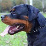Leather Rottweiler Collar with Brass Studs and Nickel Plated Spikes