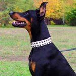 White Leather Doberman Collar With Stylish Studs