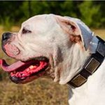 Stylish Leather American Bulldog Collar with Vintage Massive Plates