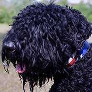Leather Black Russian Terrier Collar With Painted American Flag