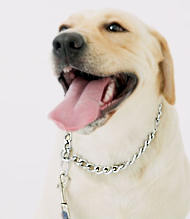 Labrador dog collar- dog collar for Wallking/Tracking/Training