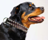 Rotty Spiked Leather Dog Collar- Rottweiler collar