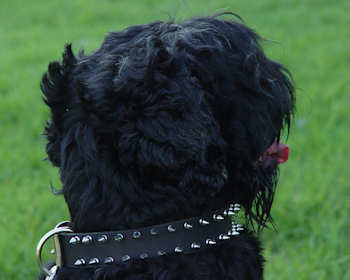 Black russian terrier collar with spiked