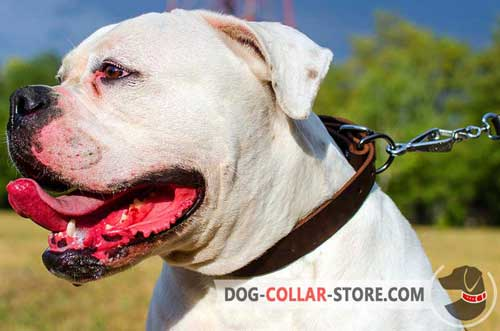 Classic Leather Dog Collar for American Bulldog Training