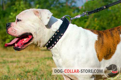 Leather American Bulldog Collar with Decorations