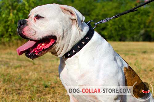 Stylish Leather American Bulldog Collar with Nickel Plated Spikes and D-Ring