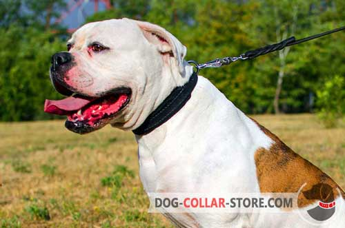 Leather American Bulldog Collar with Strong D-Ring for Lead Attachment
