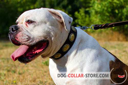 Plated Leather American Bulldog Collar for Walking in Style