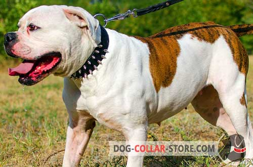 Spiked Leather American Bulldog Collar with D-Ring for Leash Attachment