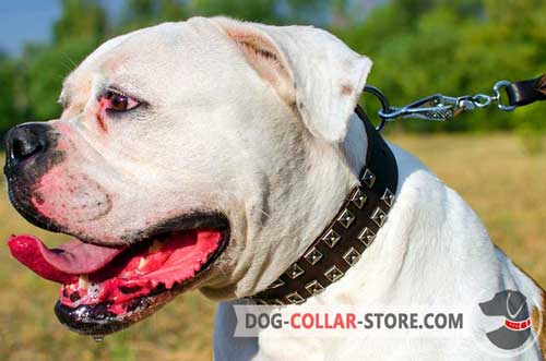 Training Leather American Bulldog Collar with Nickel Studs