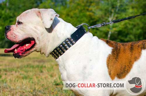 Walking Leather American Bulldog Collar with Metal Pyramids