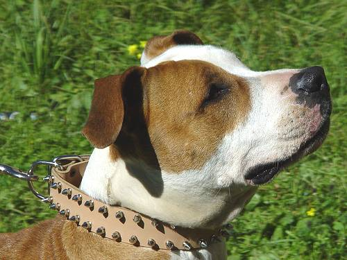 Leather Amstaff Collar with Steel Nickel Plated Decorations