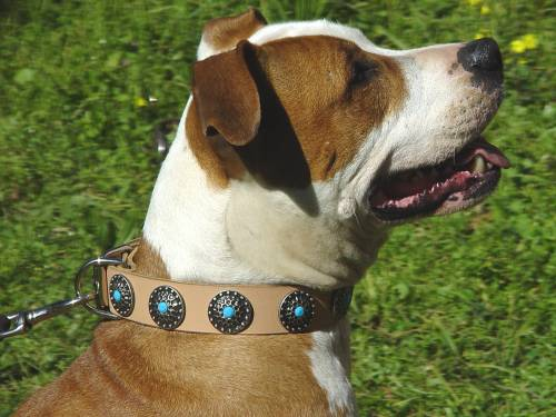 Leather Amstaff Collar with Nickel Plated Decorations