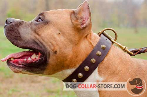Studded Leather Amstaff Collar with Brass D-Ring for Leash Attachment
