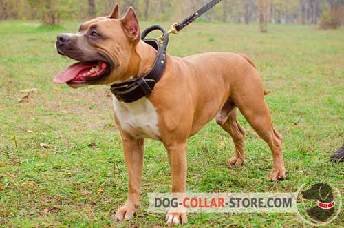 Training Leather Amstaff Collar with Round Handle for Maximum Control