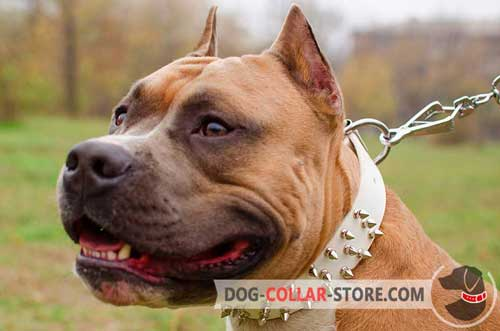Leather Spiked Amstaff Collar for Walking