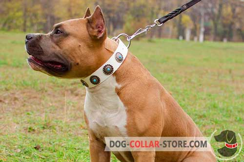 Fashionable Leather Amstaff Collar White With Blue Stones