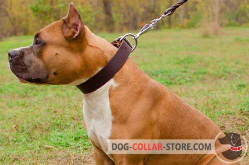 Classic Wide Leather Dog Collar for Amstaff Walking