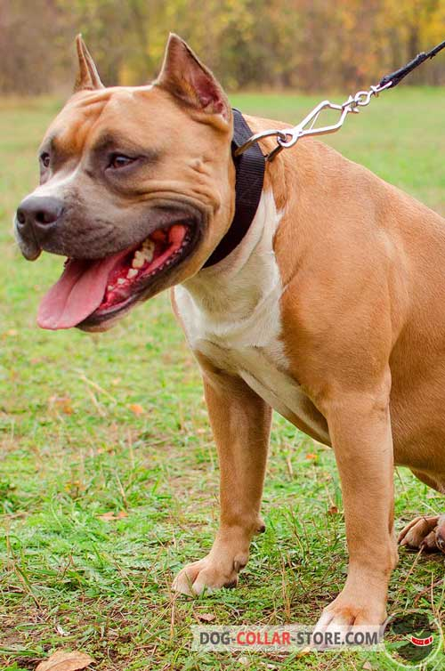 Nylon Amstaff Collar for Any Weather