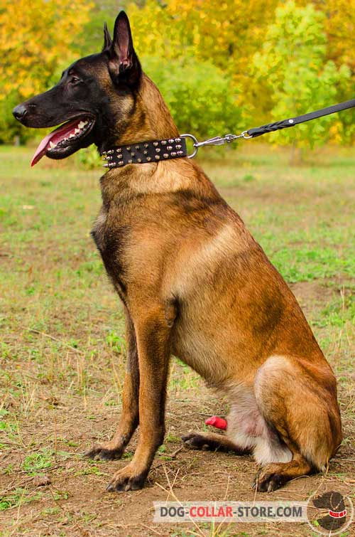 Leather Belgian Malinois Collar Spiked Design