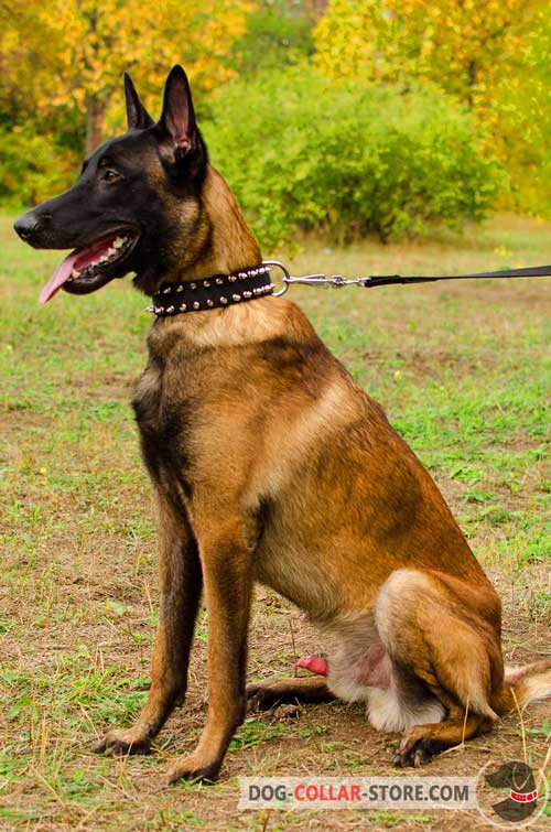 Belgian Malinois Collar with Decorations