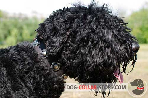 Walking Leather Black Russian Terrier Collar Decorated with Metal Conchos
