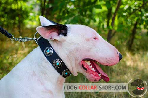 Leather Bull Terrier Collar Decorated with Beautiful Silver Plated Circles