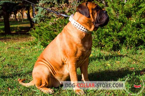 White Adjustable Leather Bullmastiff Collar