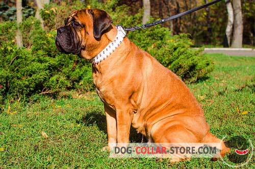 Stylish White Leather Bullmastiff Collar With Spikes