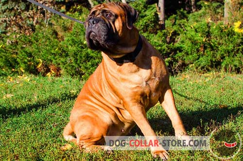 Multifunctional Nylon Bullmastiff Collar