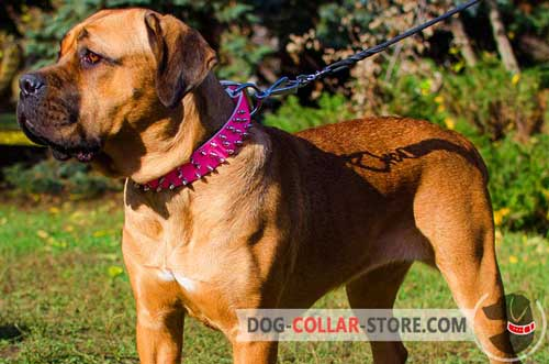 Exclusive Spiked Pink Leather Cane Corso Collar