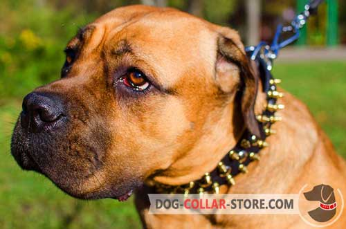 Leather Wide Cane Corso Collar with Brass Spikes