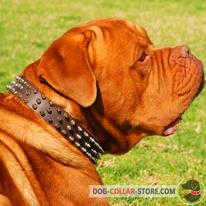 Pink Leather Dogue de Bordeaux Collar with Old Brass Massive Plates and Spikes Mastiff Collars model OldMill-C84P