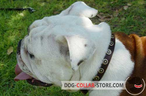 Designer Leather English Bulldog Collar with Brass Doted Circles