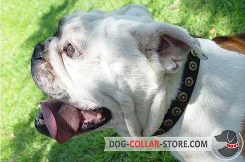 Designer Leather English Bulldog Collar with Brass Circles
