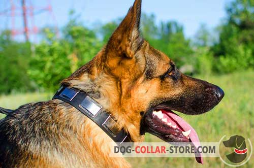 Leather Dog Collar for German Shepherd Decorated with Large Nickel Plates