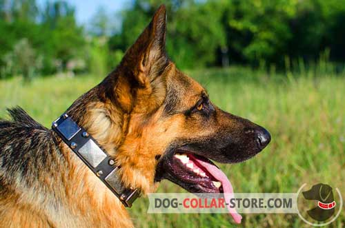 Stylish Leather German Shepherd Collar With Nickel Plates and Studs