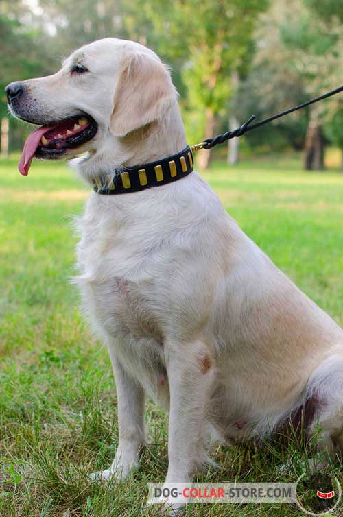 Walking Leather Golden Retriever Collar with Vertical Brass Plates