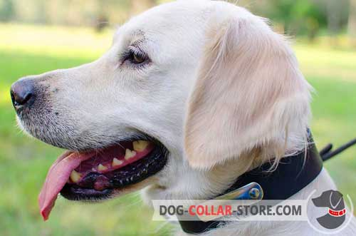 Leather Dog Collar for Golden Retriever with Nickel Plated ID Tag