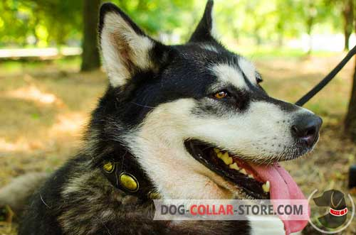 Leather Malamute / Siberian Husky Collar with plates