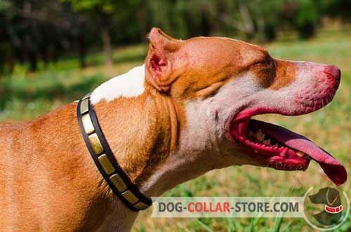Elegant Leather Pitbull Collar With Brass Plates