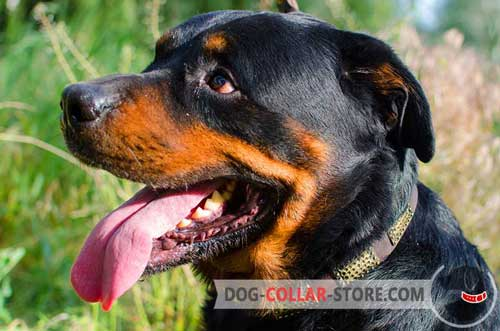 Leather Dog Collar for Rottweiler Decorated with Vintage Brass Plates