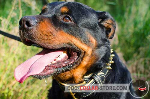 Nappa Padded Leather Dog Collar for Rottweiler with Brass Spikes