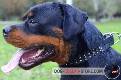 Decorated Leather Rottweiler Collar with Nickel D-Ring for Leash Attachment
