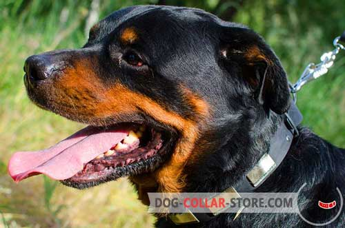 Designer Leather Dog Collar for Rottweiler Walking