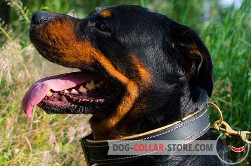 Royal Leather Rottweiler Collar Nappa Padded for Better Comfort