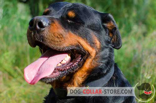 Leather Dog Collar for Rottweiler with Walking and Training
