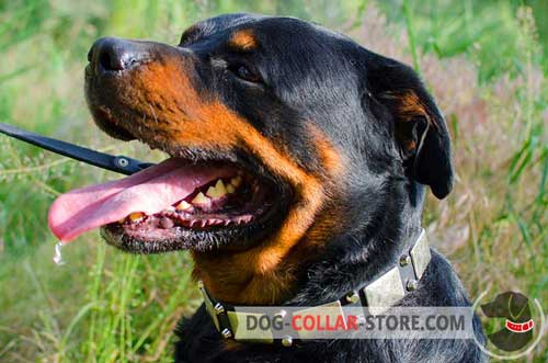 Soft Leather Rottweiler Collar With Nickel Plates and Pyramids